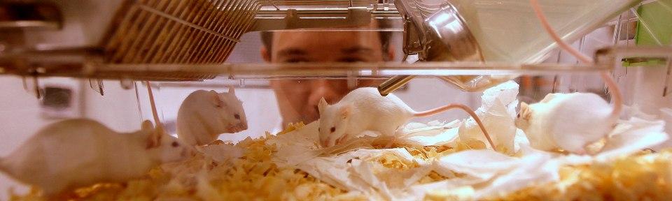 CAMUNDONGO0020/CAMPINAS/SP 05/07/2012/ESPECIAL DOMINICAL/OE/EXCLUSIVO/VIDA&.Na foto o Biotério  com camondongos especiais no laboratório de Modificação de Genomas .FOTO EPITACIO PESSOA/AE