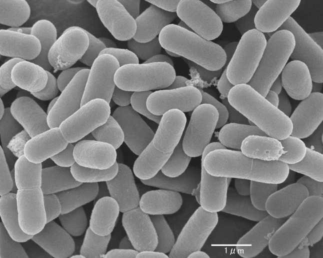 lactobacilos